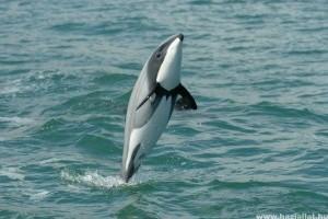 Végveszélyben a legapróbb delfinek
