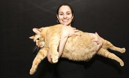 Spongya Bob, a világ legkövérebb macskája