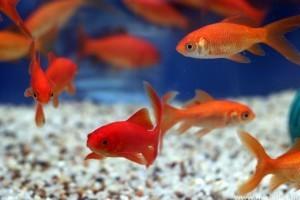 Meddig élnek a halak?