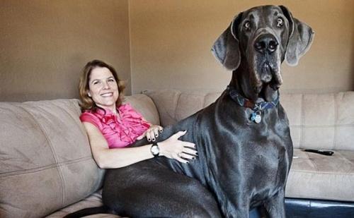 Giant George dán dog