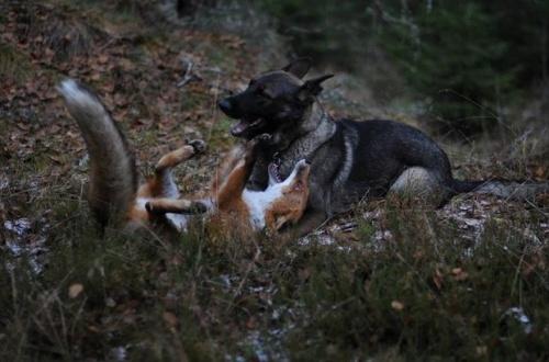 A róka és a kutya igaz barátsága