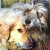 A fajtatiszta kutyákon kívül minden ebet ivartalaníttatni kell Romániában