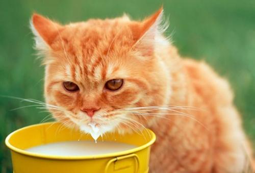 macska_tejet_iszik