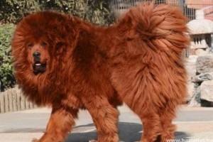 Több mint 430 millió forintot fizettek a világ egyik legdrágább kutyájáért Kínában