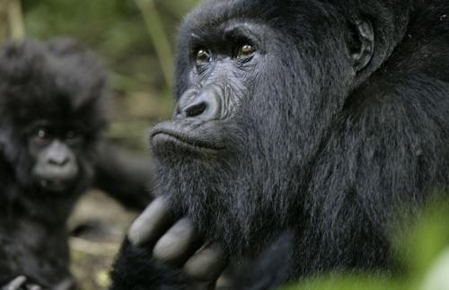 virunga_gorilla2