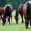 A ló legeltetése