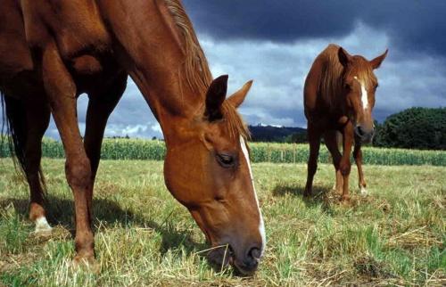 A lovak a legeltetőn az idejük 60-70%-át legeléssel töltik