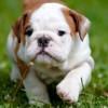 Cuki angol bulldog videó