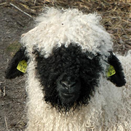 A wallisi feketeorrú juh