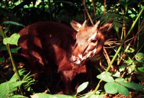 vietnami-antilop