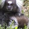 Haldokló társát gondozta egy vadon élő hím majom