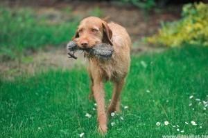 Drótszőrű vizsla is indulhat jövőre a legrangosabb amerikai kutyakiállításon