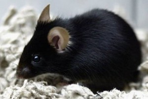 Ismét tudtak járni szklerózisos állatok az őssejtes terápia után