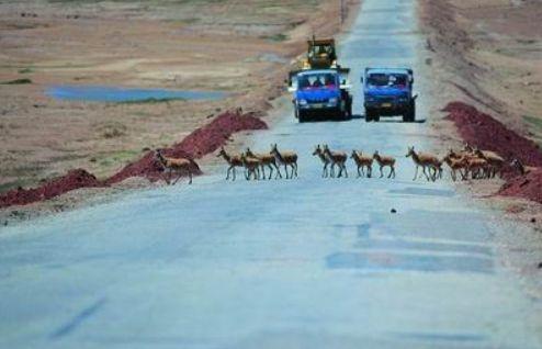 Rendőri erők felügyelik a ritka tibeti antilopok vonulását