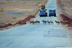 Rendőrök vigyázzák a tibeti antilopok vonulását