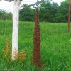 Fatörzs méretű méhraj csüngött a fán