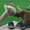 Lacey az alpaka, aki cicákkal nőtt fel