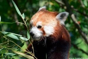 Vörös macskamedve-ikerpár érkezett a jászberényi állatkertbe