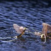 Ellenőrzések a tiszavirág védelmében