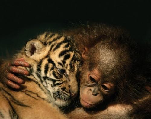 Orángután és tigris kölyök