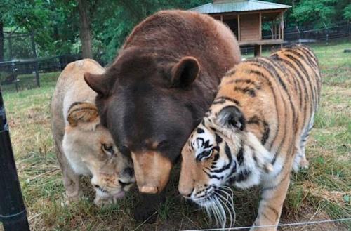 A három testőr: a tigris, az oroszlán és a medve