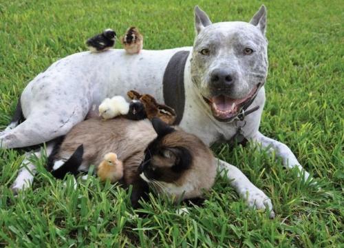 A pitbull a sziámi cicó és a kiscsibék