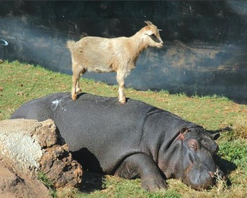 A víziló és a kecske is remekül megvannak
