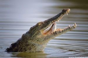 Krokodil lakik egy krétai tóban