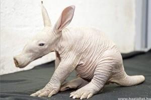 Földimalac született a győri állatkertben