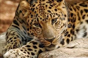 Megduplázódott a kihalás fenyegette amuri leopárdok száma 2007 óta