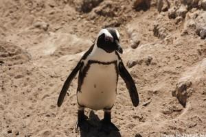 A pingvinek csupán a savanyú és a sós ízeket érzékelik
