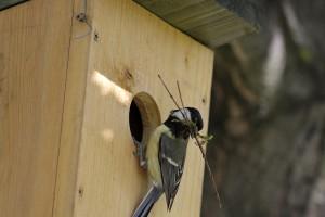 A költési időszak beköszöntével mesterséges odúkkal és fészekanyaggal is segíthetjük a lakott területek madarait!