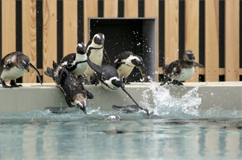 pápaszemes pingvinek