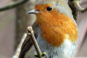 Az európai madarak harmada veszélyeztetett