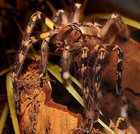 Poleciotheria-ornata