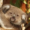 Hangjukat felemelve kerülik el a konfliktusokat a hím koalák