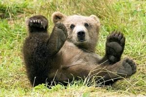Állásába került egy kanadai természetvédőnek, hogy megmentett két medvebocsot