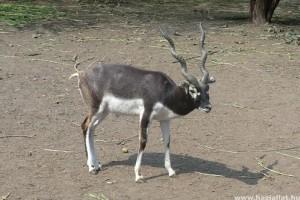 Öt indiai antilop született a Nyíregyházi Állatparkban