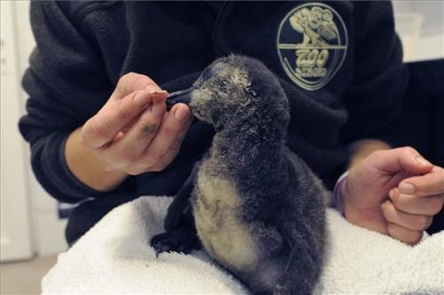 papaszemes-pingvin-szegedi-vadaspark