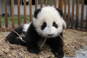 Pandaovi lett egy kutatóintézetből