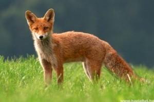 Veszett rókát találtak Szerencsen