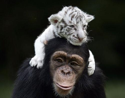 csimpanz_tigris2