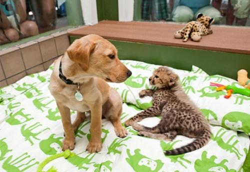 labrador_gepard