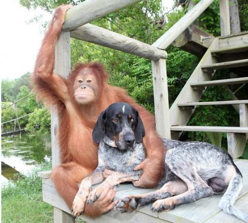 orangutan_kutya