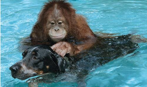 orangutan_kutya3