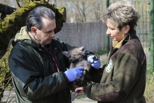 Szőke István állatorvos megvizsgál egy hathetes sörényes farkast