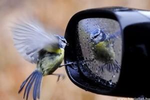 A költési időszakkal beköszöntött az ablakokat, autókat támadó  madarak szezonja is
