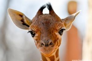 Újabb recés zsiráf született a debreceni állatkertben