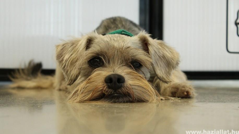 Kutya bélproblémák: bélcsavarodás, bélelzáródás
