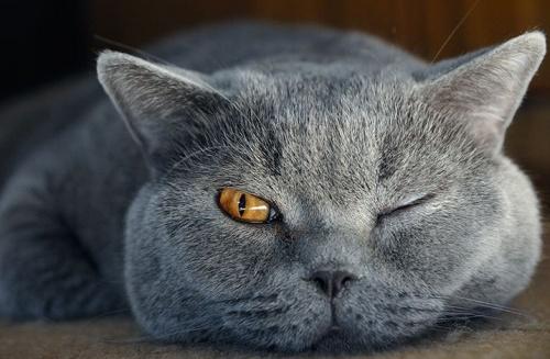 brit rövidszőrű cica